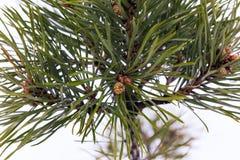 在杉木锥体特写镜头的分支的年轻杉木 库存照片