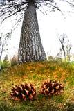 在杉木锥体的特写镜头和树在森林里 免版税库存照片