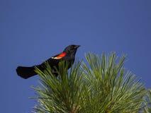 在杉树上面的美洲红翼鸫 库存图片
