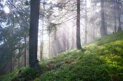 在杉树中的太阳光芒 免版税库存图片