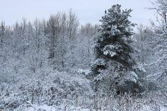 在杉树分支的冬天雪 免版税库存照片