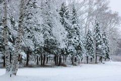 在杉树分支的冬天雪 免版税库存图片