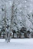 在杉树分支的冬天雪 免版税图库摄影