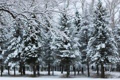 在杉树分支的冬天雪 库存照片