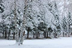 在杉树分支的冬天雪 库存图片