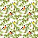 在杉树分支的冬天鸟  无缝的模式 水彩 库存照片