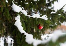 在杉树分支的红色圣诞节球与雪 库存照片