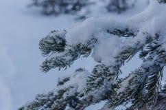 在杉树大树枝的雪堆  免版税库存图片
