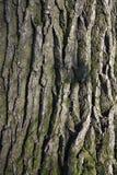 在杉树树干的吠声  库存照片