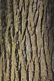 在杉树树干的吠声  免版税库存照片