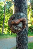 在杉树树干的毛刺  库存照片