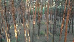 在杉树森林鸟瞰图里面的低速飞行与寄生虫 股票录像