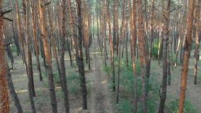 在杉树森林鸟瞰图里面的低速飞行与寄生虫 影视素材