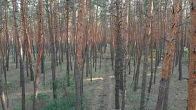 在杉树森林鸟瞰图里面的低速飞行与寄生虫 股票视频