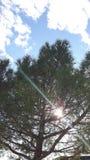在杉树的太阳 库存照片
