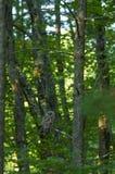 在杉树的条纹猫头鹰 库存图片