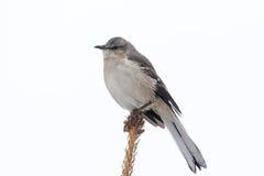 在杉树的模仿鸟 库存照片