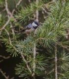 在杉树的煤炭山雀 库存照片