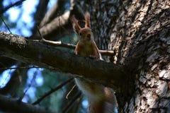 在杉树的红松鼠 免版税图库摄影
