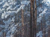 在杉树的美丽的蓝色树冰 图库摄影