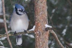 在杉树的蓝色尖嘴鸟 库存图片
