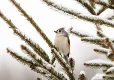 在杉树的装缨球北美山雀 免版税图库摄影