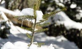 在杉树的钟乳石在Arachova希腊山 免版税库存照片