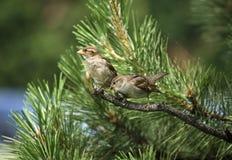 2在杉树的麻雀 免版税库存照片