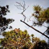 在杉树顶部的Ledgling老鹰 库存图片