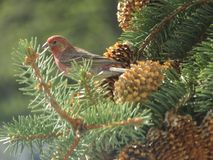 在杉树2的北美洲雀科鸟 免版税库存图片