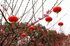 在李子开花的分支的亚洲中国传统红色灯笼吊 图库摄影