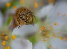 在李子开花的蜂蜜蜂  免版税库存图片