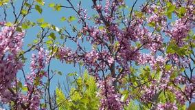 在李子开花02慢动作的春天蜂