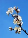 在杏子分支的春天花  免版税库存照片