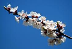 在杏子分支的春天花  免版税图库摄影