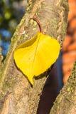 在杏子的树干的黄色秋天叶子 库存图片