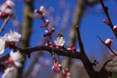 在杏子花的蜂鸟昆虫 图库摄影