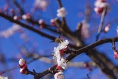 在杏子花的蜂鸟昆虫 免版税图库摄影