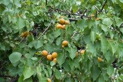 在杏子leafage的橙色果子  库存照片