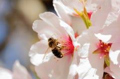 在杏仁开花的蜂 库存照片