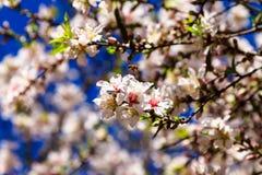在杏仁的蜂蜜蜂在蓝天背景开花 免版税库存照片