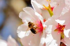 在杏仁花的蜂  图库摄影