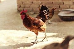 在村庄家庭的公鸡 免版税库存照片