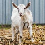 在村庄的白色山羊在玉米田,在秋天草的山羊,山羊站立并且看照相机 图库摄影