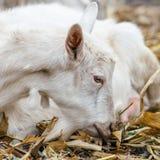 在村庄的白色山羊在玉米田,在秋天草的山羊 大农场或农场 免版税图库摄影