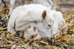 在村庄的白色山羊在玉米田,在秋天草的山羊 大农场或农场 图库摄影