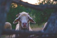 在村庄的绵羊 免版税库存图片