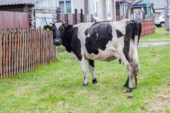 在村庄街道上的Aromashevsky俄罗斯5月23日2018黑白母牛 免版税图库摄影