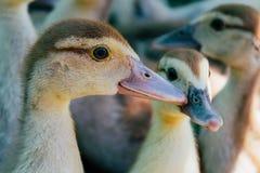 在村庄走的小的鸭子 免版税库存照片