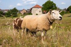 在村庄Wijlre的绵羊在荷兰语Limburg 免版税库存照片